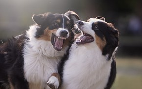Picture game, mood, two dogs, Australian shepherd, Aussie