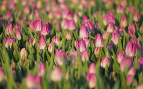 Picture field, flowers, spring, tulips, pink, buds, a lot