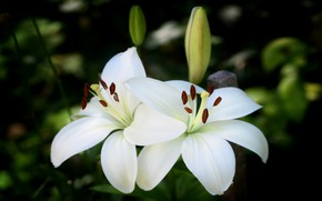 Picture flowers, the dark background, Lily, two, garden, white, buds