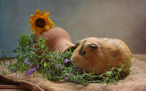 Picture flowers, animal, Guinea pig, pitcher, truck