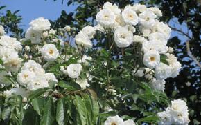 Picture roses, white roses, Meduzanol ©, summer 2018