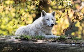 Picture autumn, white, look, face, leaves, branches, nature, pose, wolf, lies, profile, log, bokeh, Arctic, polar, …