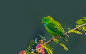 Picture background, bird, branch, parrot, Spring hanging parrot