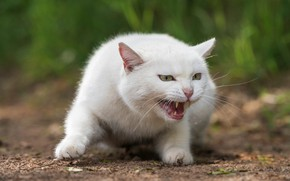 Wallpaper cat, white, grass, cat, look, face, nature, pose, green, background, portrait, paws, mouth, fangs, grin, ...