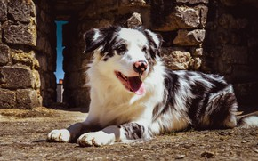 Picture language, look, face, light, pose, stones, background, dog, construction, paws, lies, bricks, structure, spotted, Aussie, …