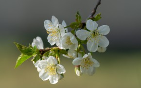 Picture cherry, branch, flowering, bokeh