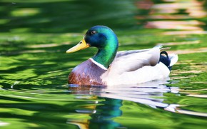 Picture water, bird, bright colors, duck, pond, swimming