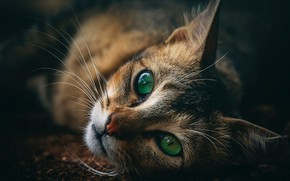 Picture cat, look, green eyes