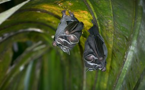 Picture leaves, two, pair, bat, bats, grey, a couple, beauty, hang, upside down