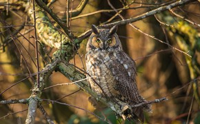 Picture branches, tree, owl