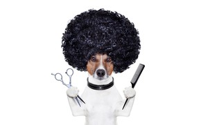 Picture hairdresser, photoshop, humor, hairstyle, white background, scissors, comb, Jack Russell Terrier, stylist