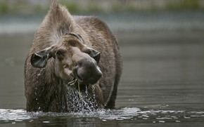 Picture water, nature, animal, moose