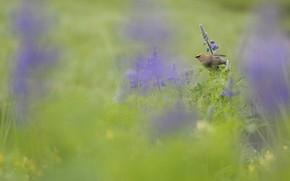 Picture bird, Canada, cedar Waxwing, the American Waxwing