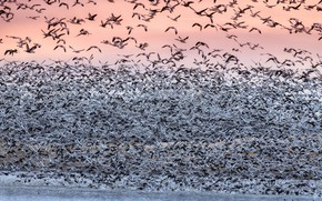 Picture birds, pack, migration, white goose