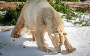 Picture winter, snow, pose, back, polar bear, the bushes, bent