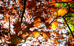Picture autumn, leaves, branches, nature, maple, sunlight