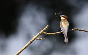 Picture bird, branch, dragonfly, mining, European bee-eater