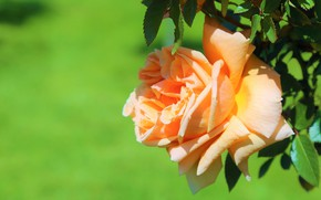 Picture flower, leaves, rose, orange, Bud, green background, yellow
