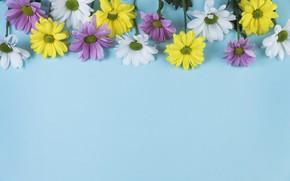 Picture flowers, background, blue, chamomile, chamomile, coposite
