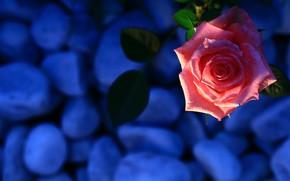 Picture leaves, light, blue, pebbles, stones, background, pink, rose, color, Bud