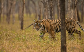 Picture forest, grass, trees, tiger, predator, wild cat