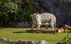 Picture white, tiger, Bush, log, lawn, zoo