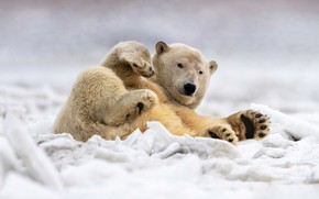 Picture winter, snow, pose, paws, lies, polar bear