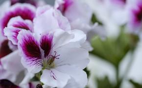 Picture flowers, white and purple, Geranium