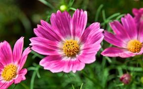 Picture flowers, pink flowers, kosmeya