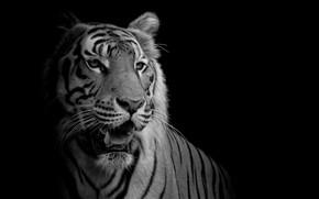 Picture white, black, tiger, feline