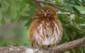 Picture leaves, owl, bird, branch, Red pygmy owl