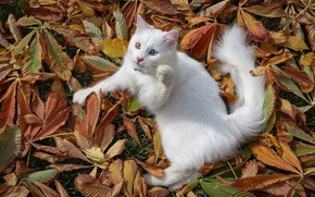 Picture turkey, white cat, van cat