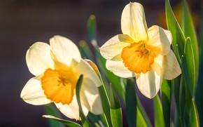Picture macro, Duo, daffodils