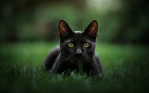 Picture grass, look, background, muzzle, bokeh, cat, black cat