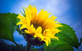 Picture the sky, overcast, sunflower, Russia, yellow petals