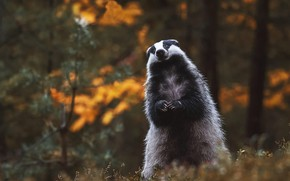 Picture autumn, forest, look, pose, background, stand, badger