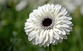 Picture white, flower, gerbera