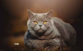 Picture cat, cat, look, face, grey, background, stay, portrait, British, smoky, yellow eyes, flower