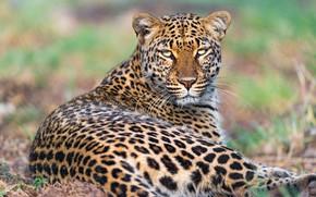 Picture look, face, pose, background, stay, portrait, leopard, lies, bokeh, gnats, midges