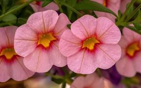 Picture macro, pink, calibrachoa