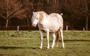 Picture autumn, white, grass, trees, branches, nature, pose, horse, lawn, horse, pasture, the fence, white, is