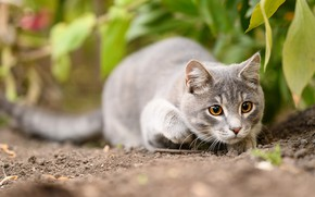 Picture cat, cat, look, face, nature, pose, grey, predator, hunting, yellow eyes