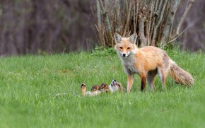 Picture forest, grass, look, trees, branches, nature, pose, stay, glade, two, baby, Fox, pair, tired, lies, …
