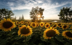 Wallpaper field, the sun, rays, sunflowers, landscape, flowers, nature, tree, Russia, field of sunflowers