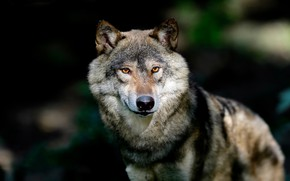 Picture face, the dark background, wolf