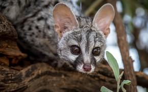 Picture animals, look, mammals, chord, predatory, viverrids, genetta, Genet, geneti