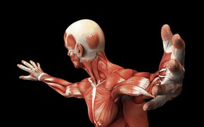 Picture muscles, body, human, muscle fiber