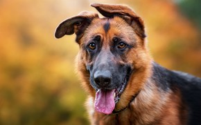 Picture language, look, face, background, portrait, dog, ears, bokeh, German shepherd