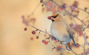 Picture branches, berries, background, bird, fruit, the Waxwing