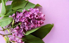 Picture flower, purple, card, lilac